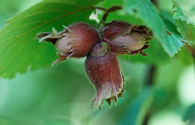 wild edible berries of alberta a field guide