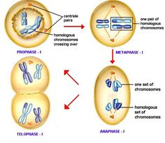 process of meiosis study guide
